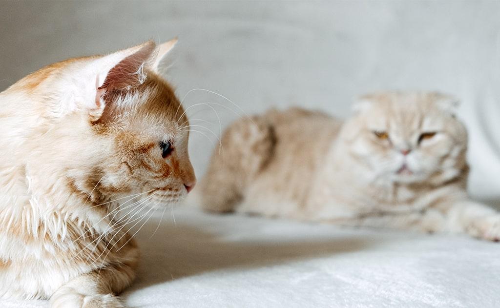 The Territorial Feline
